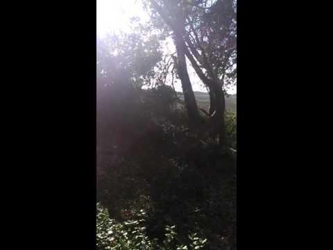 abattage d'un arbre avec 2 autres appuyer dessus avec une STIHL MS 271
