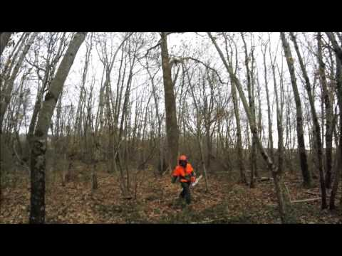 abattage d'un chêne mort avec stihl ms 461