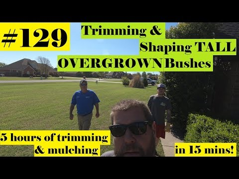 #129 Trimming HUGE bushes with Stihl HL-KM 145 Hedge trimmer.  Mulch job with JT and Rob.  💖💲✌